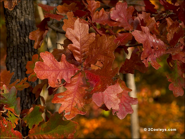White oak leaves in fall imgkid the image kid